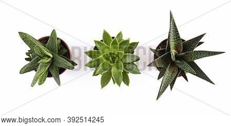 Succulents Isolated On A White Background. Succulents Plant In A Pot