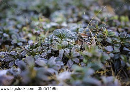 Plant Winter Nature Background. Cold Frost Leaf. Snow Season Outdoor. Beautiful Ice Frosty Branch In