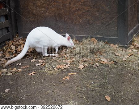 A Rare Albino Wallaby Arrives For Breakfast
