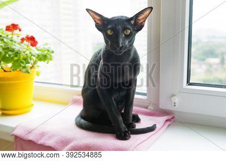 Black Oriental Cat On Window Sill