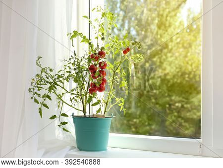 Tomato Plant In Bucket On Window Sill Indoors. Space For Text