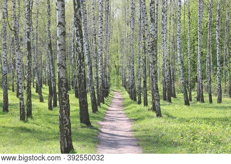 Young Birch With Black And White Birch Bark In Summer In Birch Grove Against The Background Of Other