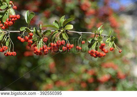 Narrow-leaf Firethorn - Latin Name - Pyracantha Angustifolia