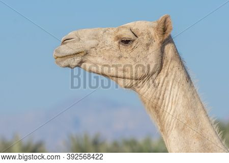 Side View Close-up Of A Desert Dromedary Camel Facial Expression With Its Mouth And Teeth Showing In