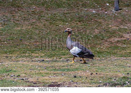 Volunteer Beach, Falkland Islands, Uk - December 15, 2008: Closeup Of Brown Feathered Upland Goose W