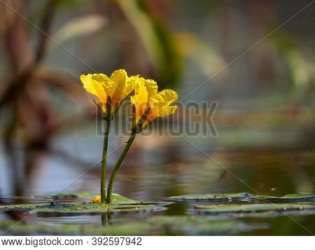 small yellow lillies on the water with beautiful reflection