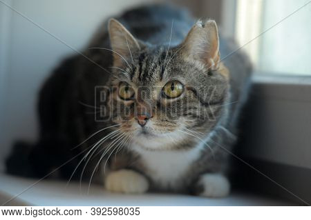 Plump Brown And White Cat 10 Years Old With Big Yellow Eyes