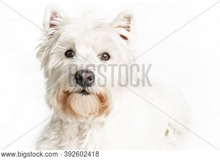 A West Highland White Terrier Dog Isolated On White Background In Studio