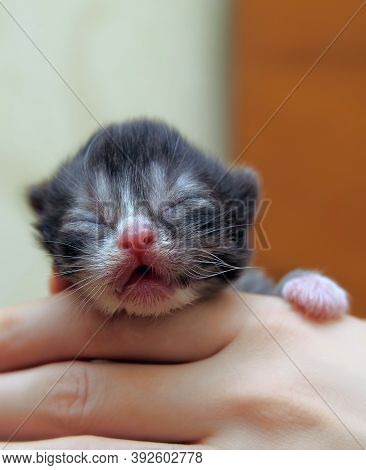 Newborn Blind Kitten In Hands Close Up