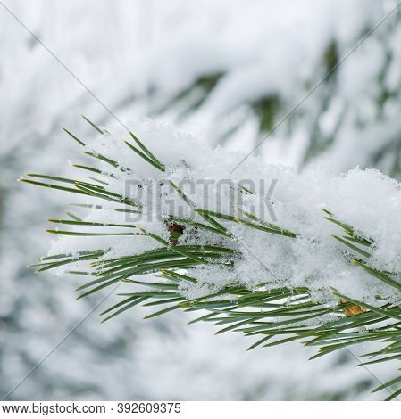 Snowy Sprig Of Pine Or Pinus Sylvestris With Dark Green Needles Covered In Snow And Hoarfrost On Win