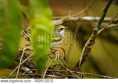 Golden-winged Warbler (vermivora Chrysoptera) New World Warbler, Small Bird Breeds In Southern Canad