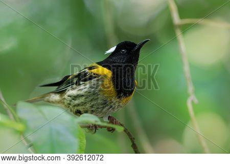 Stitchbird - Notiomystis Cincta - Hihi In Maori Language, Endemic Yellow, White And Black Bird Sitti