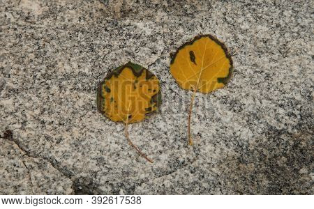 Quaking Aspen (populus Tremuloides) Yellow Leaves On A Rock In Beartooth Mountains, Montana