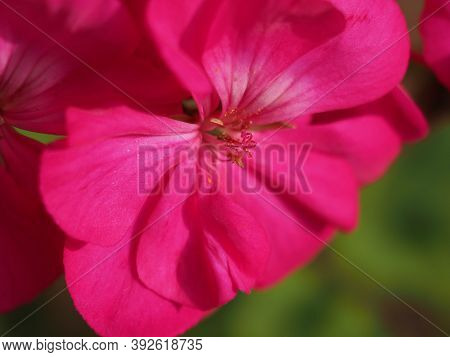 Geranium Plant (geraniales) Pink Flower