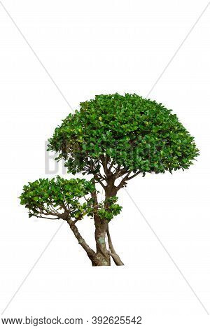 Green Bush Tree Isolated On A White Background.