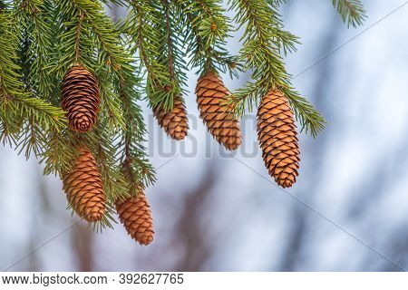 Green Spruce Branches With Needles And Many Cones In Winter. Many Cones On Spruce. Fir Tree. Backgro