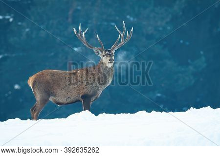 Red Deer Stag Standing On Meadow Covered With Snow In Wintertime Nature.