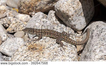 Iberian Wall Lizard, Podarcis Hispanica, On A Rock. Photo Taken Next To The Minchones Stream, In The