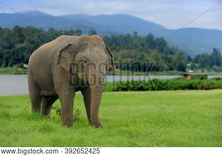 Elephants Eat Grass In National Park Of Sri Lanka