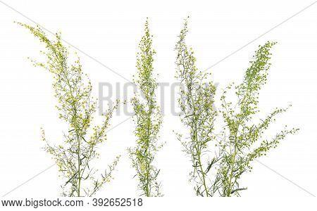 Tarragon, Artemisia Dracunculus, Also Known As Estragon. Flowers Isolated