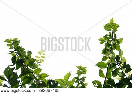 Young Tropical Plant Leaves With Branches And Sunlight On White Isolated Background For Green Foliag