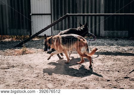 Two German Shepherds Of Black And Black Red Color Play And Run On The Sand On The Dog Playground. Ke