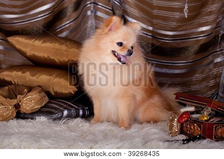 Pomeranian red Spitz dog with luxury decoration poster