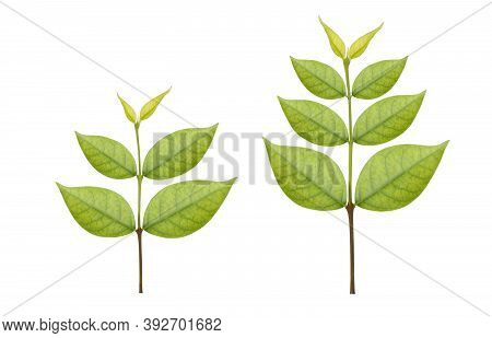 Collection Of Two Beautiful Foliage Or Growing Green Trees  Isolated On White Background With Clippi