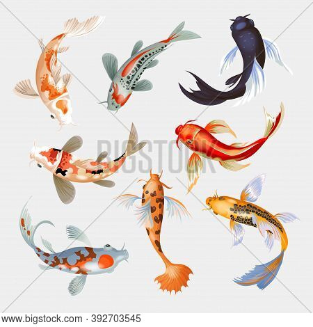 Koi Fish Vector Illustration Japanese Carp And Colorful Oriental Koi In Asia Set Of Chinese Goldfish