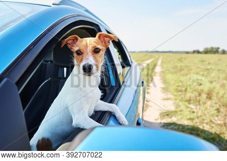 Jack Russell Terrier Dog Sits In The Car On Driver Sit. Dog Looking Out Of Car Window