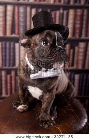 Cute french bulldog puppy with neck bow and old-fashioned black hat sitting in library poster