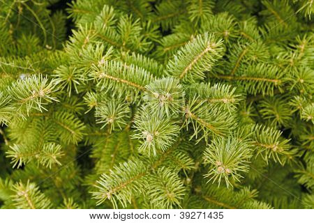 green needles of coniferous tree as a natural background