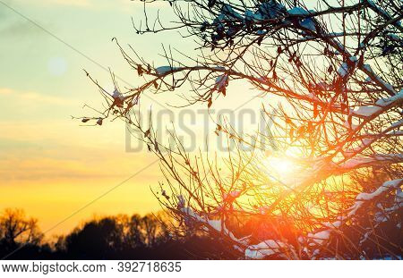 Sunset winter forest, winter snowy trees on the foreground and sunset light breaking through the snowy winter branches. Sunset winter landscape, winter forest scene