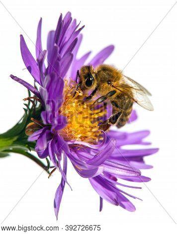 Bee Or Honeybee In Latin Apis Mellifera, European Or Western Honey Bee Sitting On The Violet Flower