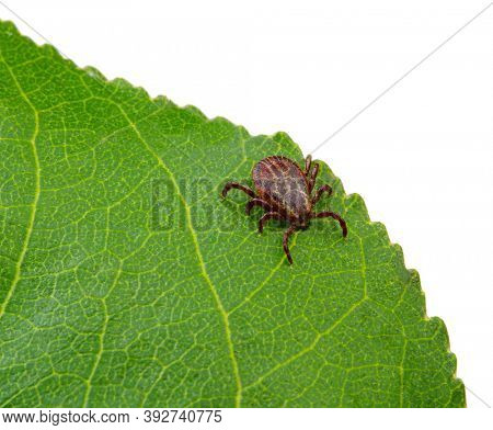 Tick sitting on a green leaf. Danger parasite mite.