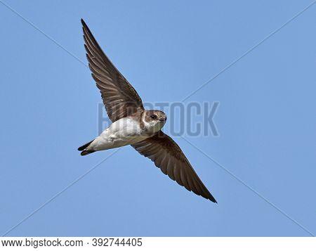 Sand martin (Riparia riparia) captured in flight