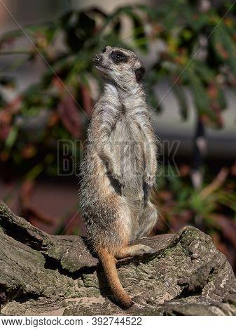 Funny meerkat watching. Tanzania Africa