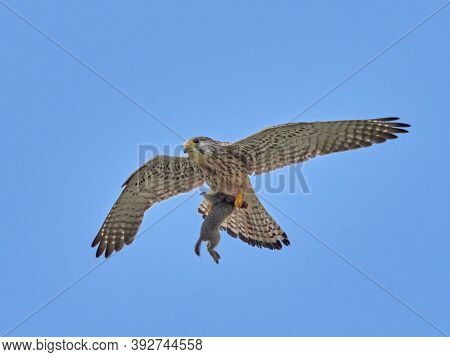 falcon flying in natural habitat captured in flight while carrying its prey (falco tinunculus)