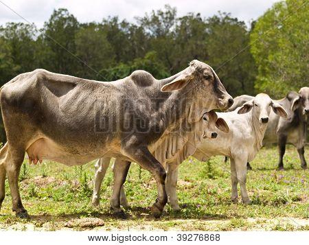 Cattle family zebu cow calf heifer bull live animals