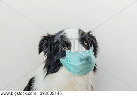 Sick Or Contagious Dog Border Collie Wearing Protective Surgical Medical Mask Isolated On White Back