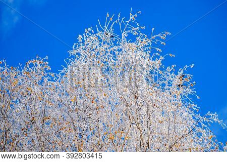 Branches Of A Tree, Covered With Rime Frost Against A Blue Sky