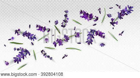 Beautiful Violet Lavender Flower On Transparent Background. Banner With Lavender Flowers For Perfume