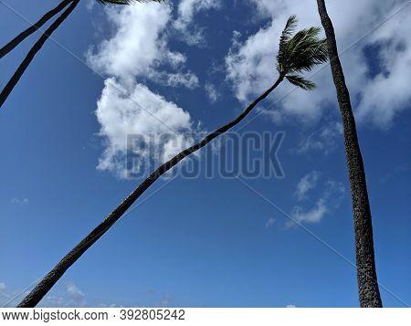 Coconut Tree And Blue Sky With Clouds In Diamond Head, Honolulu, Hawaii.
