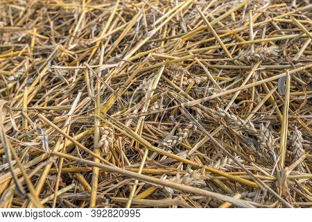 Closeup Of Remaining Straw After Harvesting And Threshing The Grain.