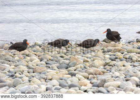 Black Oystercatcher Bird,  Juvenile, At British Columbia Canada; North American
