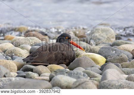 Black Oystercatcher Bird At British Columbia Canada; North American