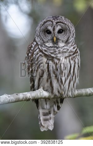 Barred Owl Bird At British Columbia Canada; North American