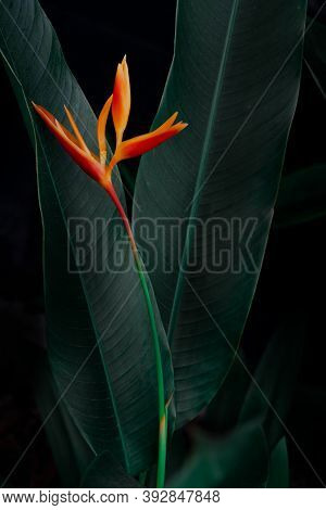 Exotic Flower On Dark Green Tropical Foliage Nature Background.