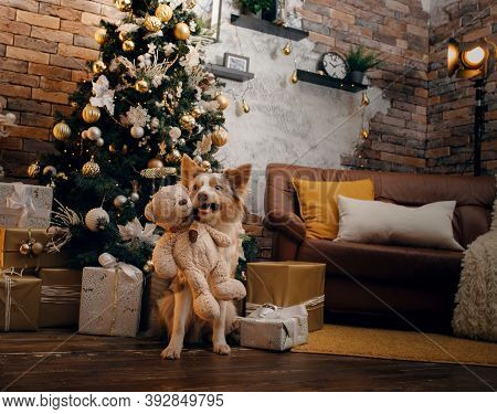 Dog In The Christmas Interior. Border Collie In New Years Decorations At Home