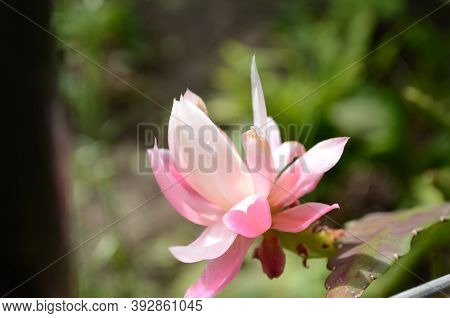 Closeup On Epiphyllum Orchid Cactus Flower Stigma And Stamen On Green Background